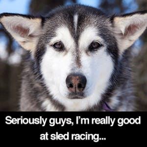 siberian-husky-serious-sled-racer