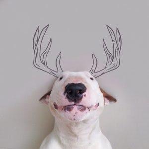 215155-R3L8T8D-650-Jimmy-the-Bull-Terrier15__605
