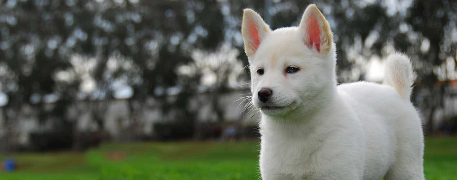Top Activities For A Korean Jindo Wag