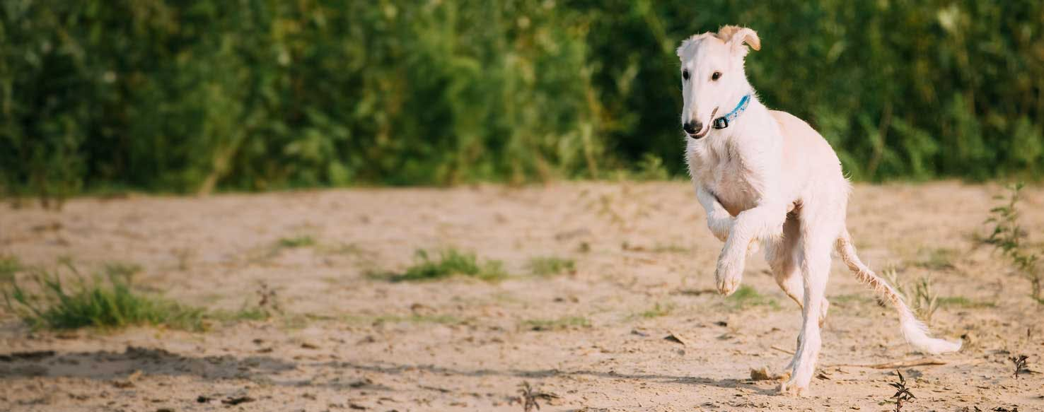 Top Activities For Old Croatian Sighthounds Wag