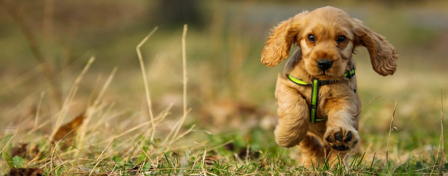 Top Activities For English Cocker Spaniels Wag