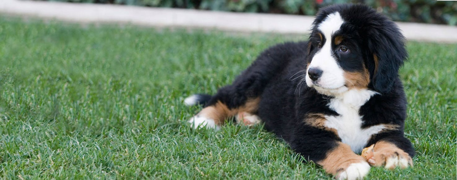 Swiss Newfie Dog Breed Facts And Information Wag Dog