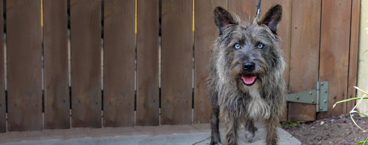 Cairn Australian Shepterrier | Dog Breed Facts and