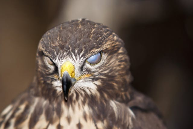 Blindness in Birds - Symptoms, Causes, Diagnosis, Treatment, Recovery, Management, Cost