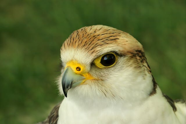 Cataracts in Birds - Symptoms, Causes, Diagnosis, Treatment, Recovery, Management, Cost