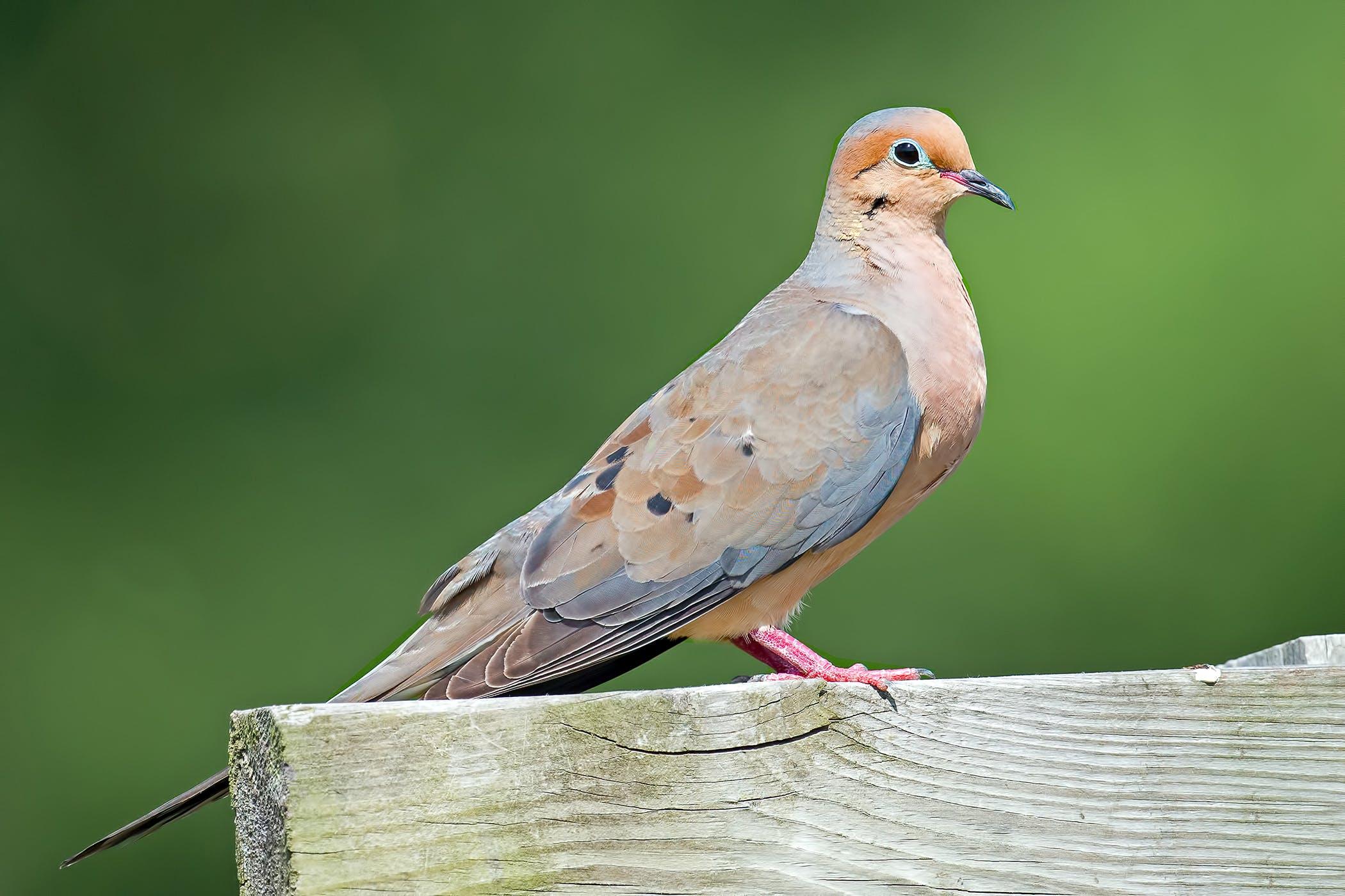 Chlamydiosis in Birds