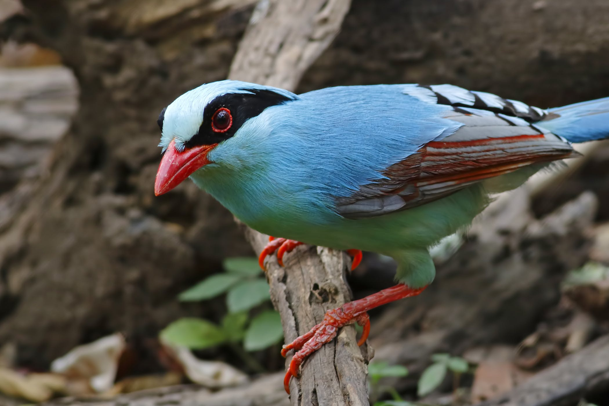 Cloacal Prolapse in Birds - Symptoms, Causes, Diagnosis