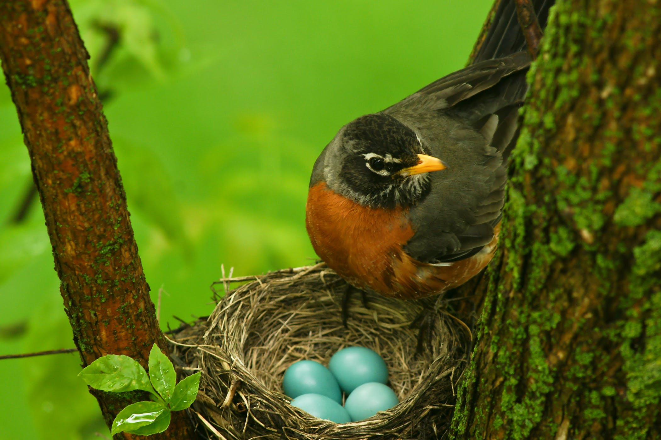 Egg Binding in Birds - Symptoms, Causes, Diagnosis, Treatment