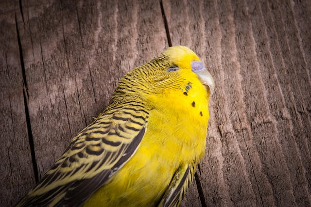 Egg Yolk Peritonitis in Birds - Symptoms, Causes, Diagnosis, Treatment, Recovery, Management, Cost