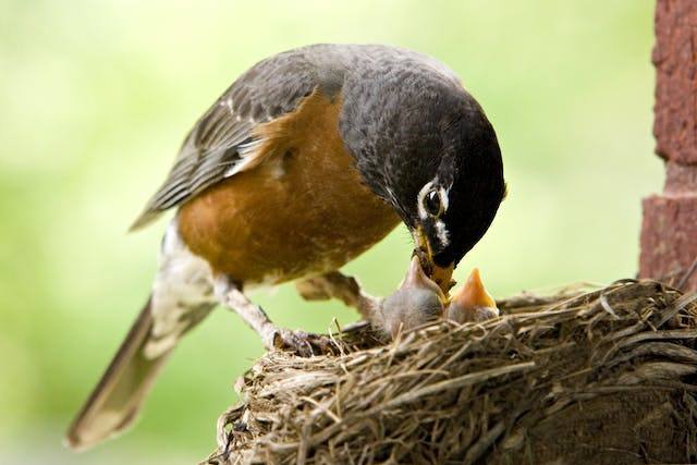 Hepatic Adenoncarcinoma in Birds - Symptoms, Causes, Diagnosis, Treatment, Recovery, Management, Cost