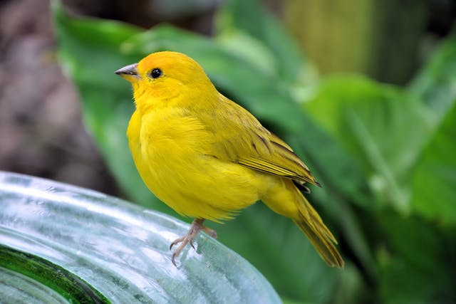 Lameness in Birds - Symptoms, Causes, Diagnosis, Treatment, Recovery, Management, Cost