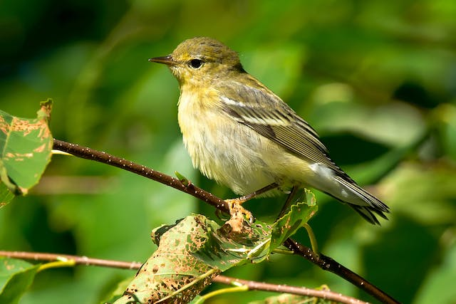 Melena in Birds - Symptoms, Causes, Diagnosis, Treatment, Recovery, Management, Cost