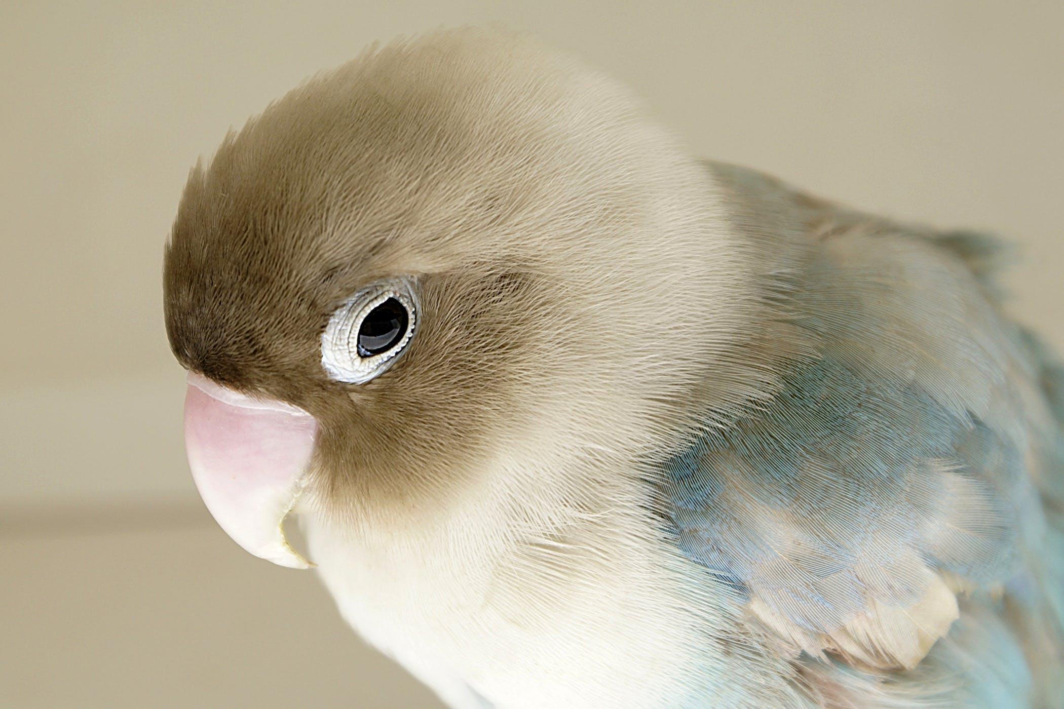Papillomatosis bird Taur culoarea viermei