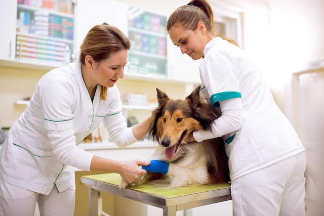 Athletic Injuries in Dogs - Symptoms, Causes, Diagnosis, Treatment, Recovery, Management, Cost