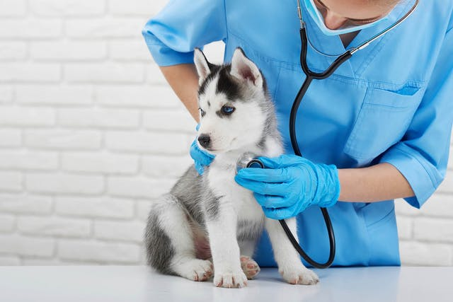 Autoimmune Skin Disease in Dogs - Symptoms, Causes, Diagnosis, Treatment, Recovery, Management, Cost