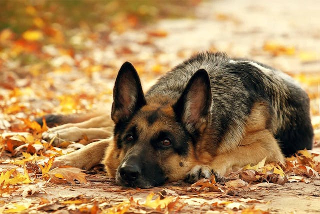 Autumn Dangers in Dogs - Symptoms, Causes, Diagnosis, Treatment, Recovery, Management, Cost