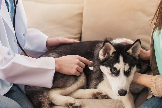 Baldness and Hormone-Related Skin Disorders in Dogs - Symptoms, Causes, Diagnosis, Treatment, Recovery, Management, Cost