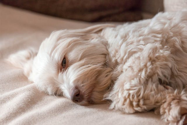 Canine Stress Syndrome in Dogs - Symptoms, Causes, Diagnosis, Treatment, Recovery, Management, Cost