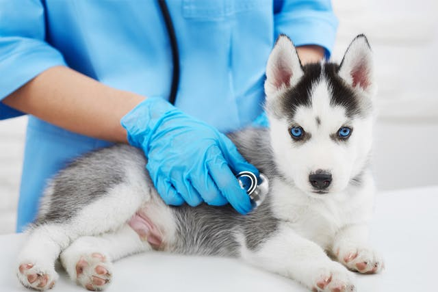 Cholestasis in Dogs - Symptoms, Causes, Diagnosis, Treatment, Recovery, Management, Cost