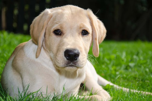 Chronic Stress in Dogs - Symptoms, Causes, Diagnosis, Treatment, Recovery, Management, Cost
