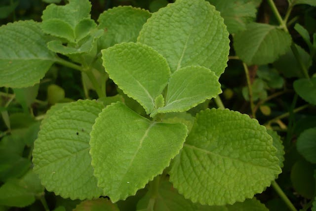 Coleus Poisoning in Dogs - Symptoms, Causes, Diagnosis, Treatment, Recovery, Management, Cost