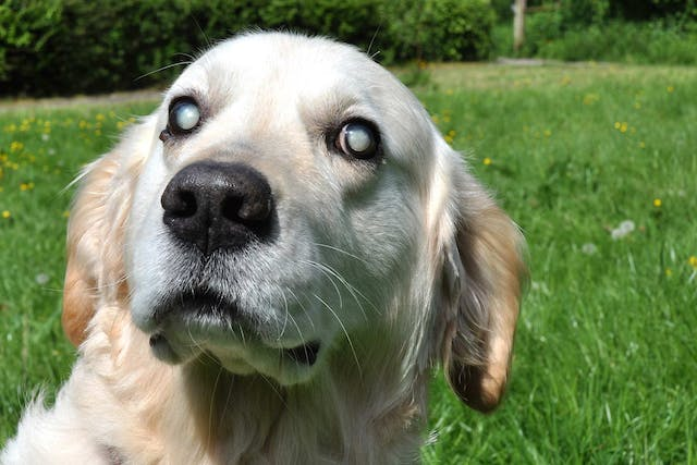 Corneal Disease (Inherited) in Dogs - Symptoms, Causes, Diagnosis, Treatment, Recovery, Management, Cost