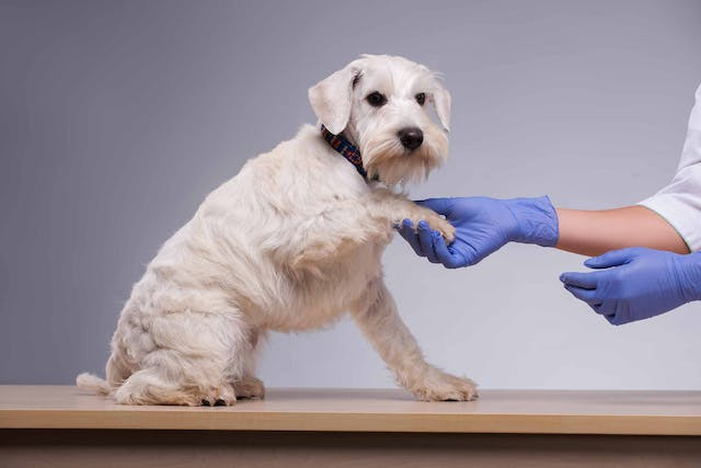 Digital Tumors in Dogs - Symptoms, Causes, Diagnosis, Treatment, Recovery, Management, Cost