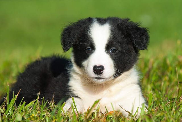 Failure to Thrive (Collie) in Dogs - Symptoms, Causes, Diagnosis, Treatment, Recovery, Management, Cost