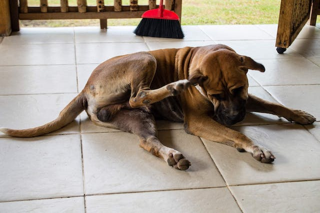 Flea Bite Hypersensitivity in Dogs - Symptoms, Causes, Diagnosis, Treatment, Recovery, Management, Cost