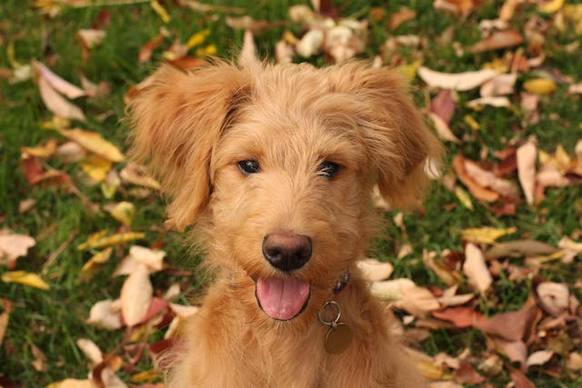 Glossitis in Dogs - Symptoms, Causes, Diagnosis, Treatment, Recovery, Management, Cost