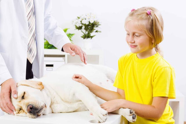 Groin Pull in Dogs - Symptoms, Causes, Diagnosis, Treatment, Recovery, Management, Cost