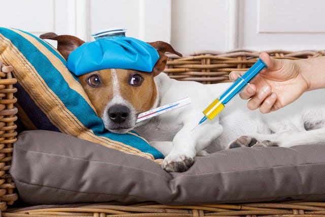 H3N2 Flu Virus in Dogs - Symptoms, Causes, Diagnosis, Treatment, Recovery, Management, Cost