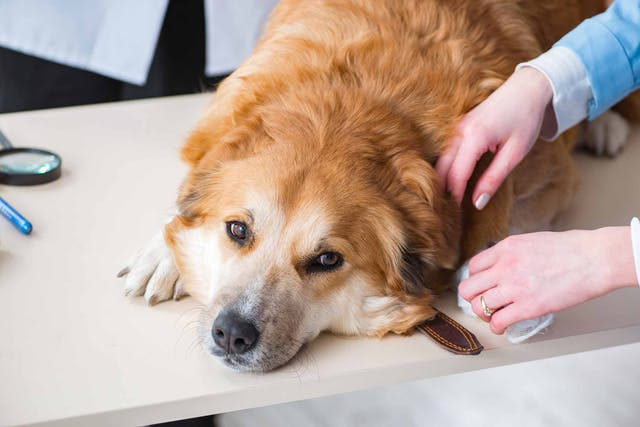 Intraocular Lens Implants in Dogs - Conditions Treated, Procedure, Efficacy, Recovery, Cost, Considerations, Prevention
