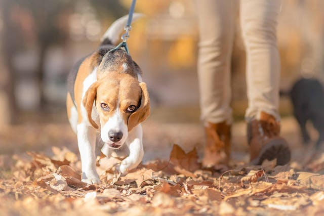 Loss of Mobility in Dogs - Symptoms, Causes, Diagnosis, Treatment, Recovery, Management, Cost