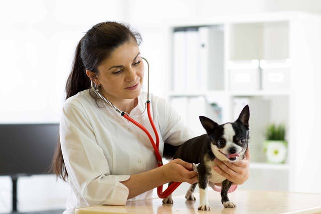 Low Blood Oxygen in Dogs - Symptoms, Causes, Diagnosis, Treatment, Recovery, Management, Cost