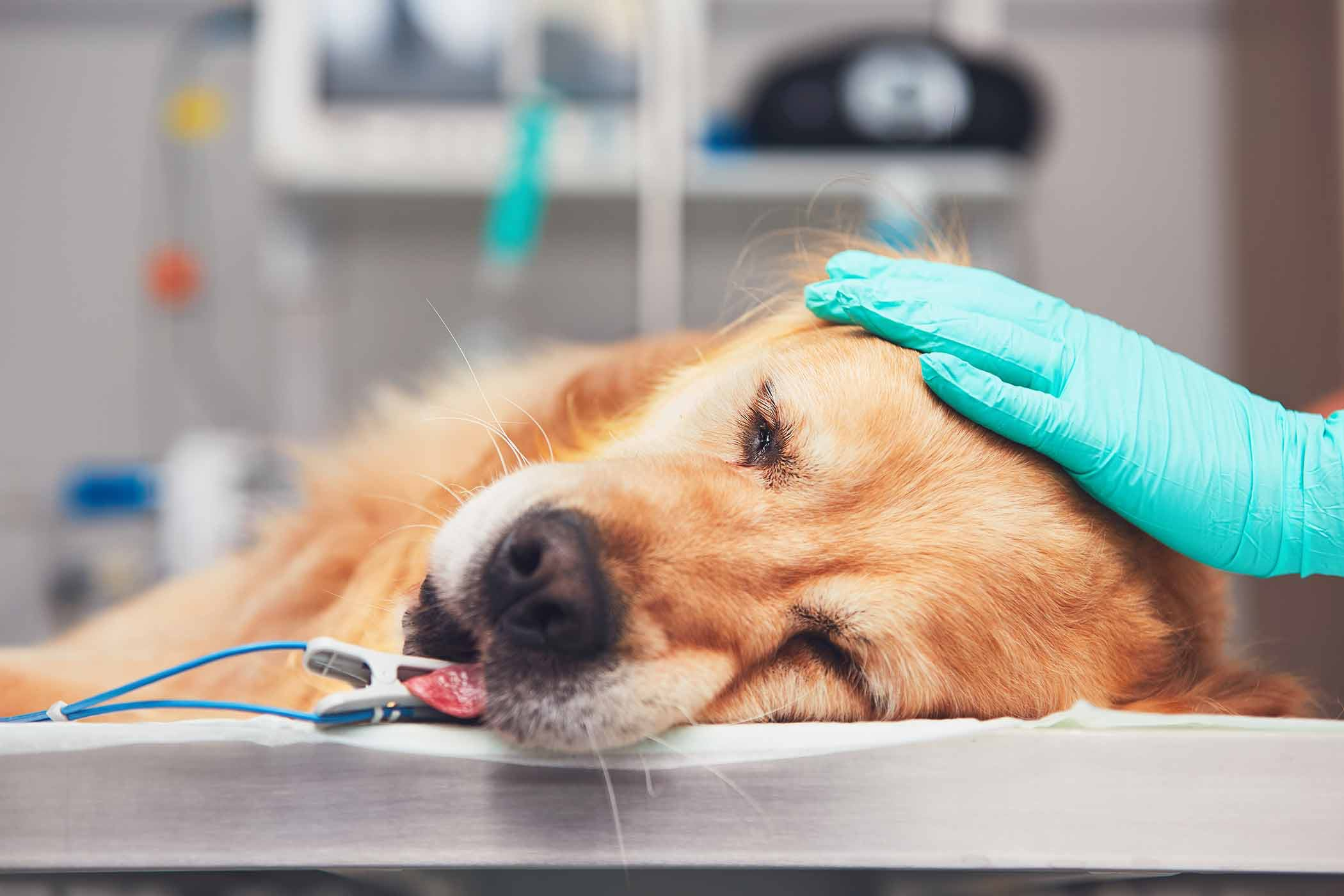 Lung Cancer Adenocarcinoma In Dogs Symptoms Causes Diagnosis