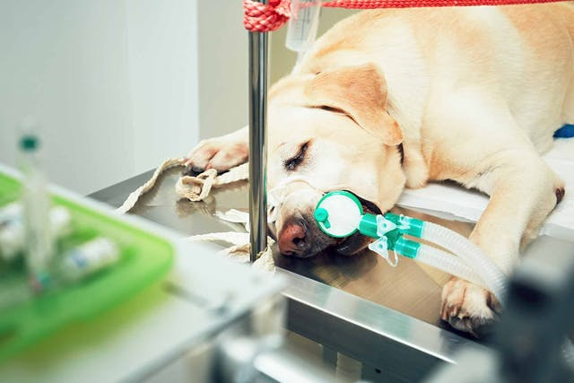 Lung Cancer (Squamous Cell Carcinoma) in Dogs - Symptoms, Causes, Diagnosis, Treatment, Recovery, Management, Cost