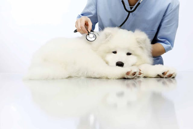 Lung Lobe Twisting in Dogs - Symptoms, Causes, Diagnosis, Treatment, Recovery, Management, Cost
