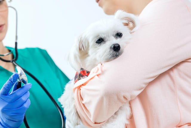 Lymph Node Inflammation (Lymphadenopathy) in Dogs - Signs, Causes, Diagnosis, Treatment, Recovery, Management, Cost