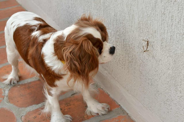 Mosquito-Borne Diseases in Dogs - Symptoms, Causes, Diagnosis, Treatment, Recovery, Management, Cost