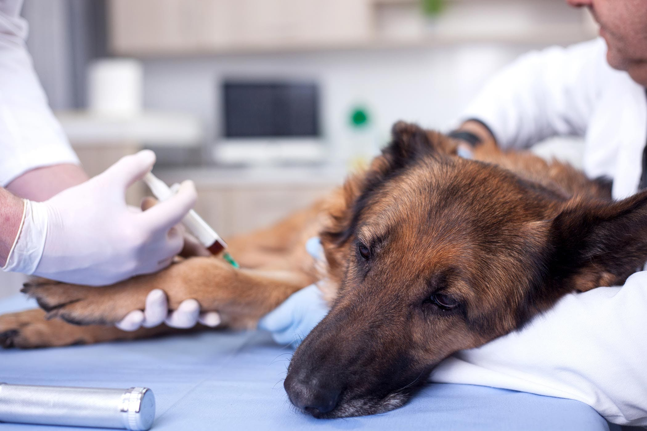 How to Treat Encephalitozoonosis in Dogs