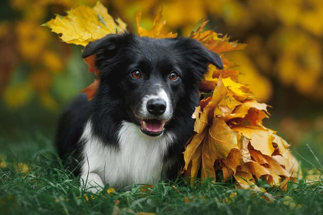 Rage Syndrome in Dogs - Symptoms, Causes, Diagnosis, Treatment, Recovery, Management, Cost