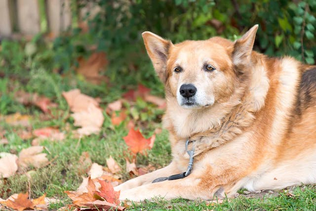 Sensory Decline (Senior) in Dogs - Symptoms, Causes, Diagnosis, Treatment, Recovery, Management, Cost