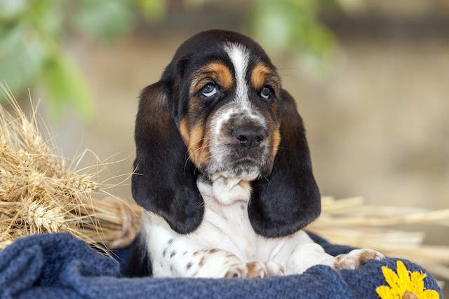 Skin Disease (Canine Seborrhea) - Symptoms, Causes, Diagnosis, Treatment, Recovery, Management, Cost