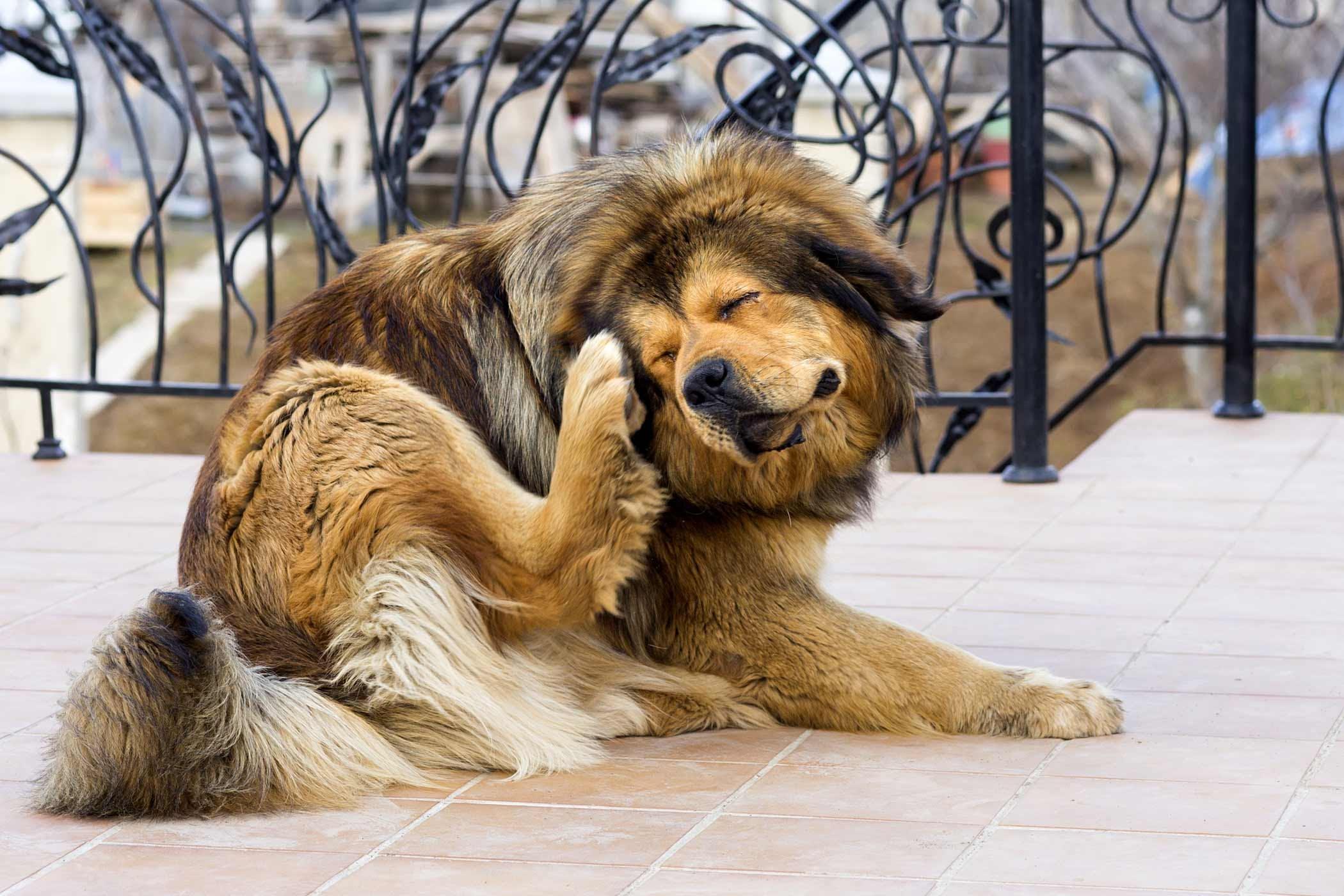 Skin Disease Due To Food Allergies In Dogs Symptoms Causes