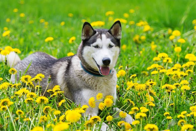 Spring Dangers in Dogs - Symptoms, Causes, Diagnosis, Treatment, Recovery, Management, Cost