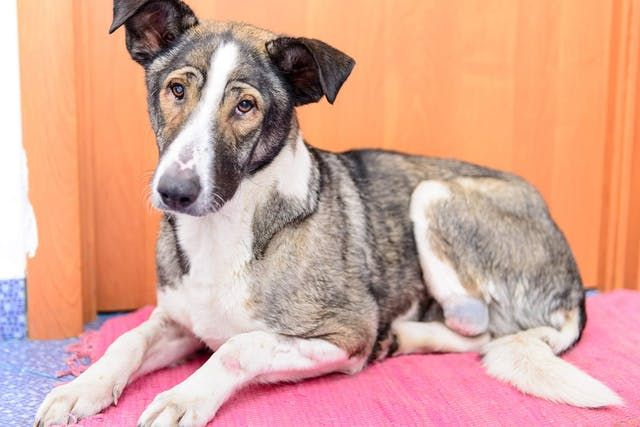 Stress-Related Illnesses in Dogs - Symptoms, Causes, Diagnosis, Treatment, Recovery, Management, Cost