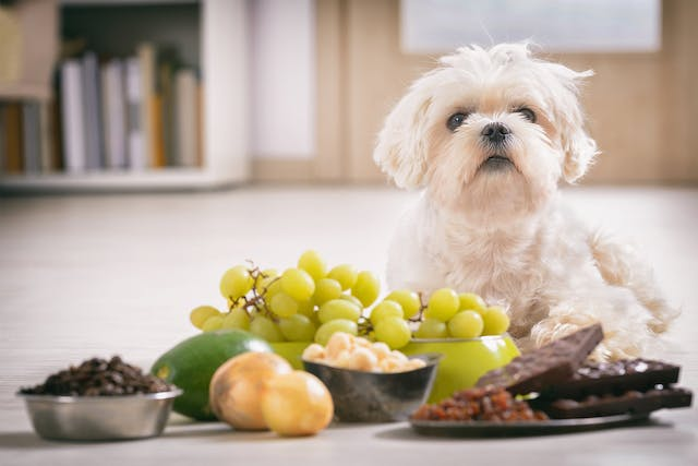 Theobromine Toxicity in Dogs - Symptoms, Causes, Diagnosis, Treatment, Recovery, Management, Cost