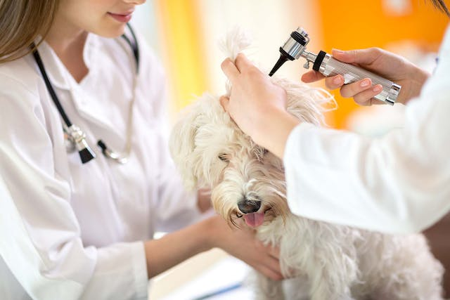 Why is my dog getting ear infections?