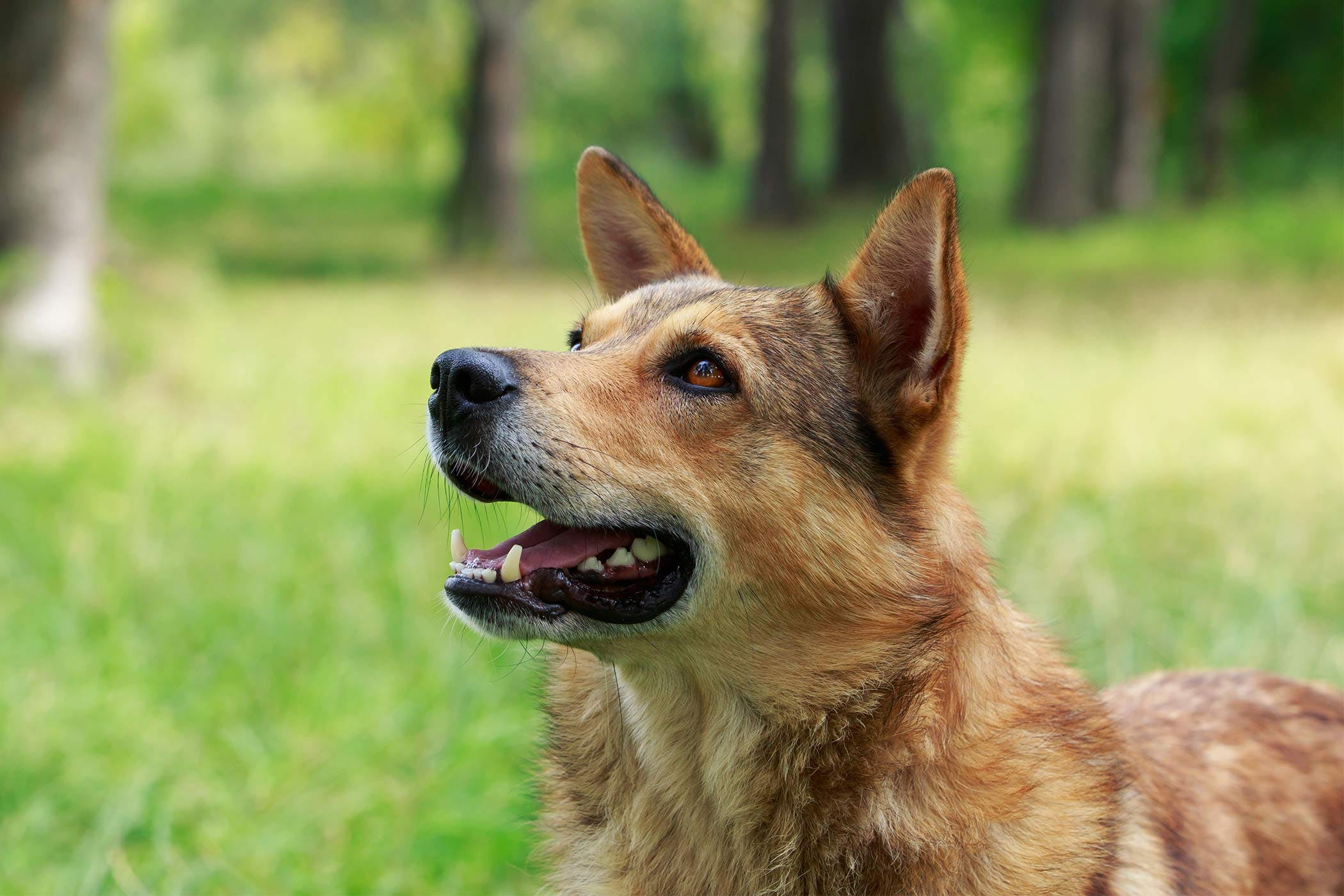 Jaw Chattering in Dogs - Definition, Cause, Solution